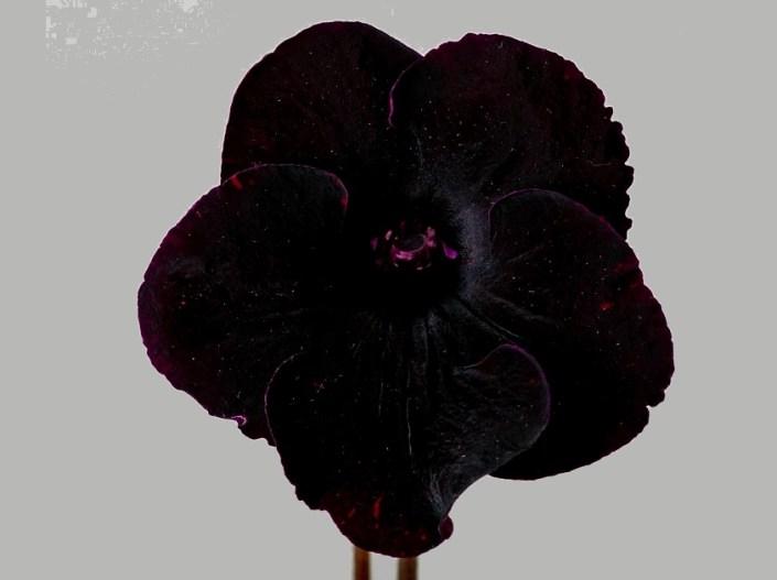 Streptocarpus 'DS-2487' (P. Enikeev) Large black-red/red fantasy.