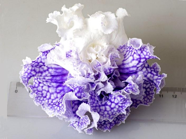Streptocarpus 'DS-Poseidon' (P. Enikeev) Huge, dense-double white flowers with azure netting.
