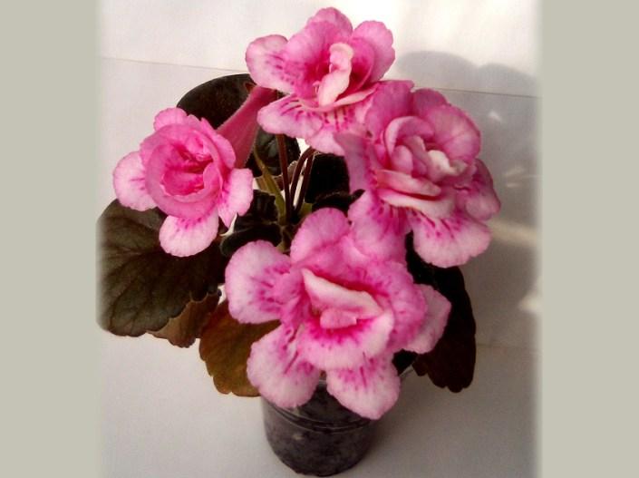 Sinningia 'GriN Marmeladka' (N. Grisha) Double lilac-pink/raspberry speckles and streaks. Dark green, mini sinningia.