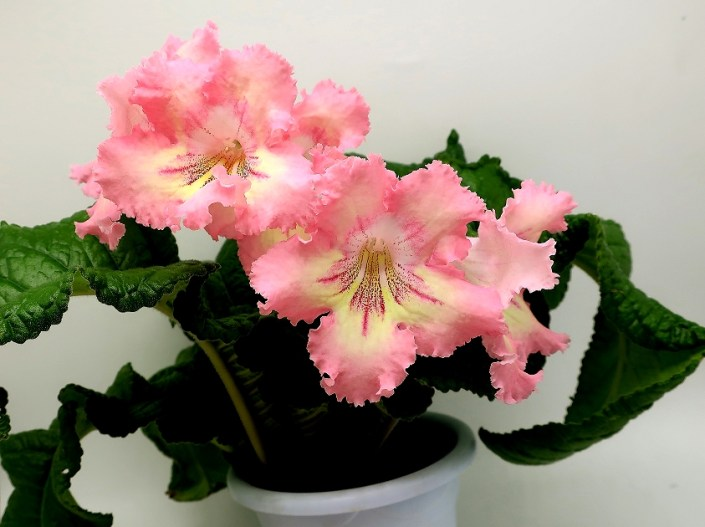 Streptocarpus 'MK-Rozovyi Desert' (M. Karpova) Pink large flower (4 inches) yellow-white center, crimson rays with speckles, wavy edges.