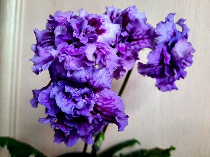 Streptocarpus 'ZM-Sorrento' (Z. Metlushko) Dense-double lilac with purple veining.