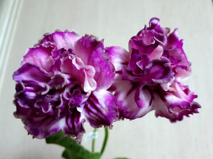 Streptocarpus 'ZM-Zefirka' (Z. Metlushko) Dense-double pale pink, purple edges.