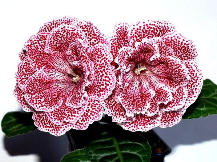 Sinningia speciosa 'EN-Astoriia' (E. Nikolaeva) Large double white/wine-red speckles. Neat rosette, standard
