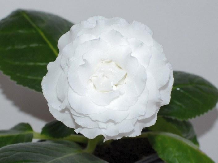 Sinningia speciosa 'N-Belyi Shokolad' (E. Nikolaeva) Large multi-row pure white flowers with the shape of blooms like a rose. Standard