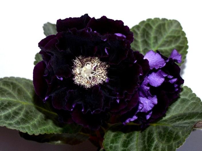 Sinningia speciosa 'EN-Ochi Chernye' (E. Nikolaeva) Large double dark purple, almost black flowers. Foliage with silver streaks, serrated, standard