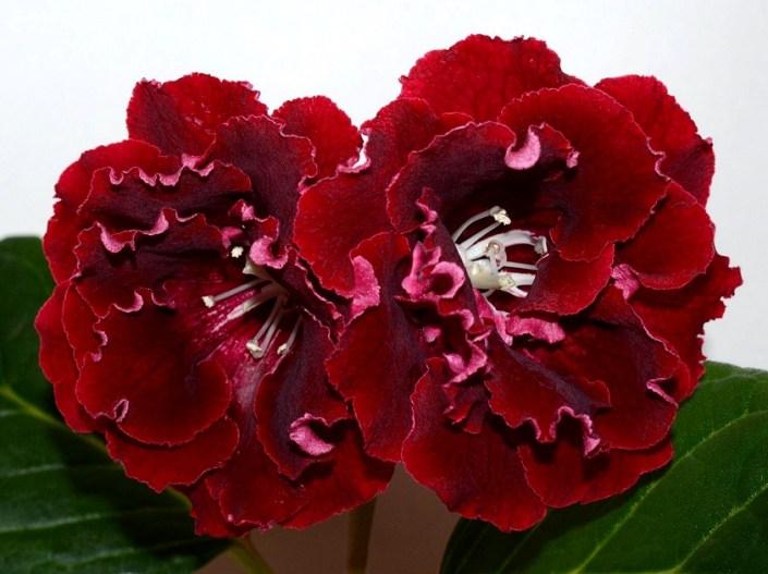 Sinningia speciosa 'EN-Zhivoi Ogon'' (E. Nikolaeva) Very large burning-red flowers. Standard