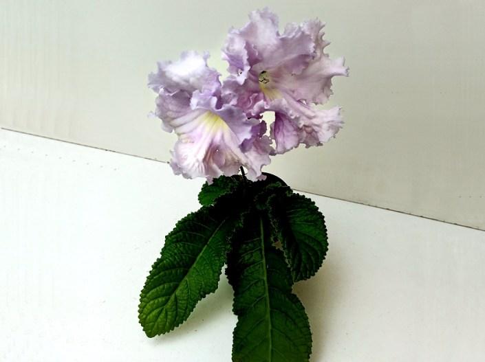 Streptocarpus 'RS-Orfei' (S. Repkina) Huge pale-lilac frilled blooms/lemon throat. Large standard