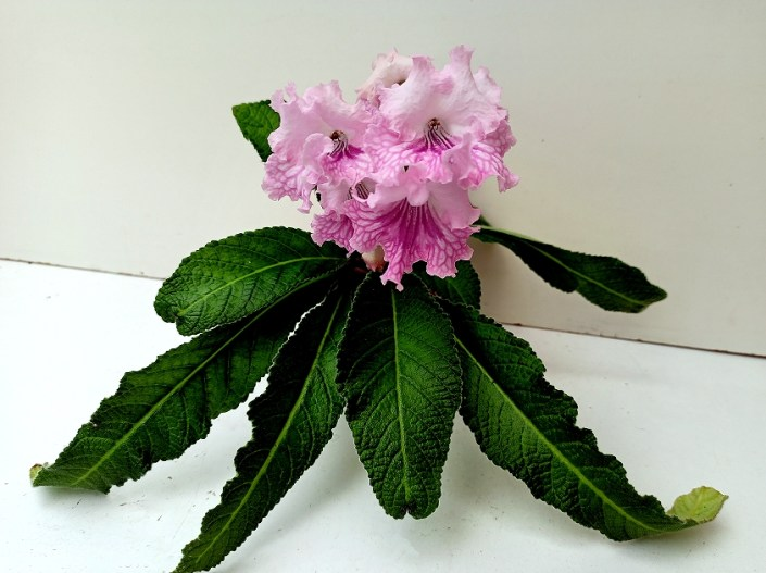 Streptocarpus' RS-Simona' (S. Repkina) Large pale pink blooms/raspberry netting on lower lobes. Standard