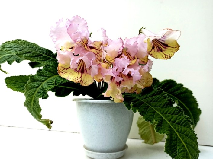 Streptocarpus 'RS-Tsvet Iantaria' (S. Repkina) Large blooms, pale pink upper lobes, yellow lower lobes with cherry netting. Standard