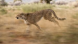 The Control of Cheetah Flies on Carnivores