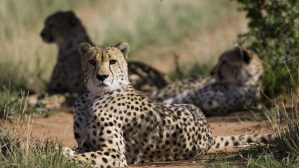 Metabolic Profiling of Cheetahs in Captivity