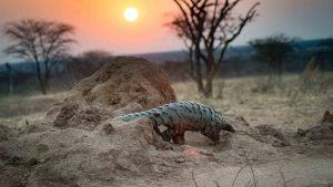 AfriCat Pangolin Research Project