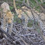AfriCat Leopard Research 2019