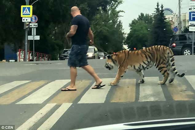 Man takes Tiger for a walk