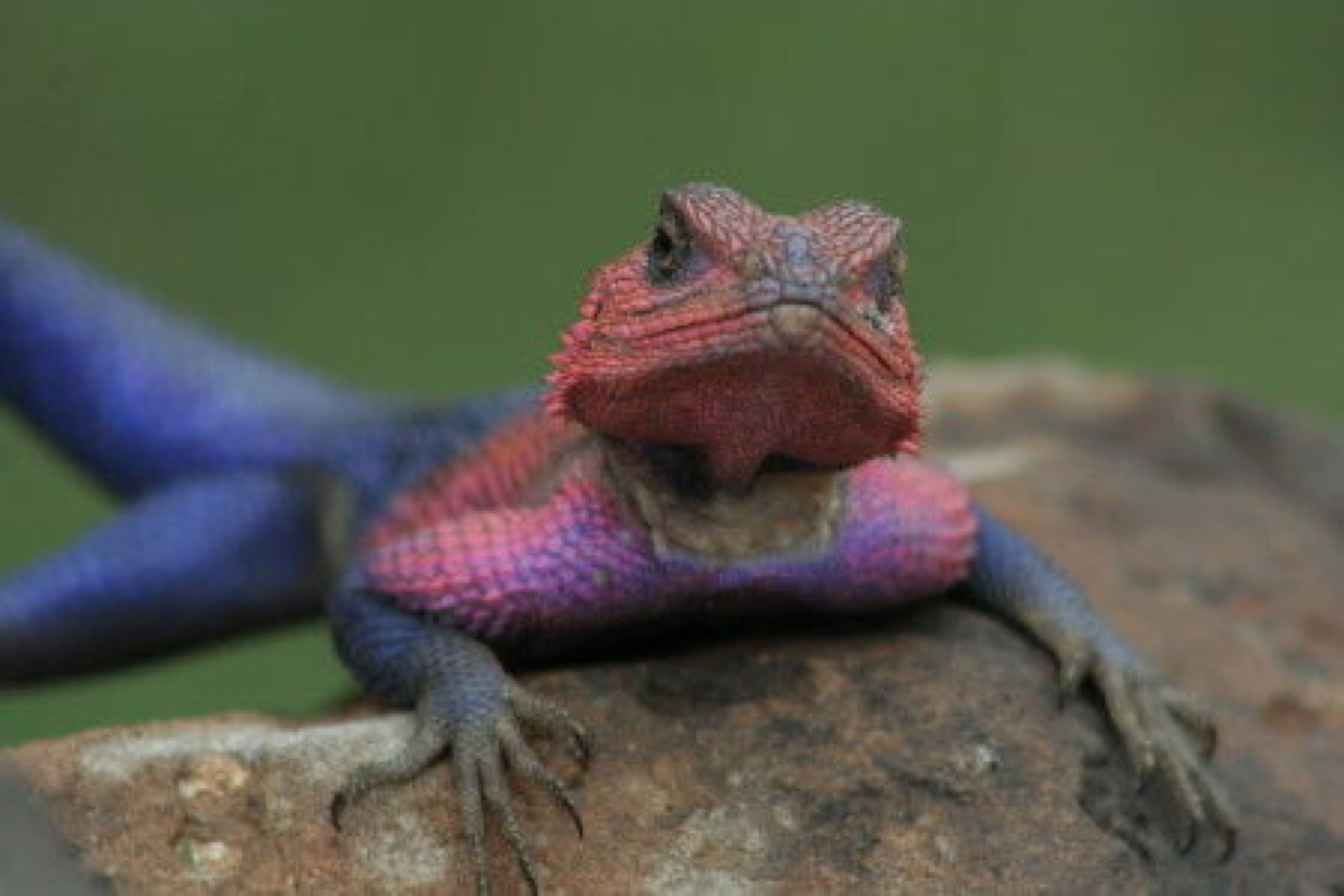 Kenya wildlife lizard