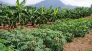 champs manioc