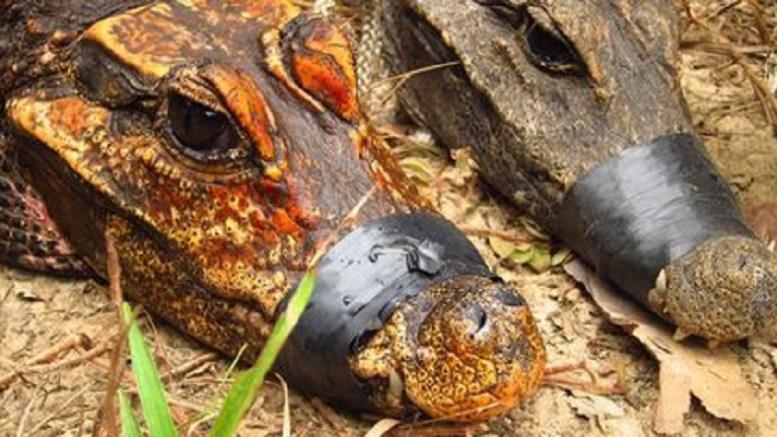 Des crocodiles orangés au Gabon