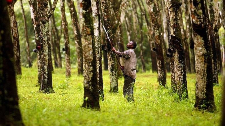 Olam et les plantations d'Hevea
