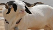 Le mouton de la tabaski