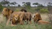 Des Lions dans le parc national Kruger