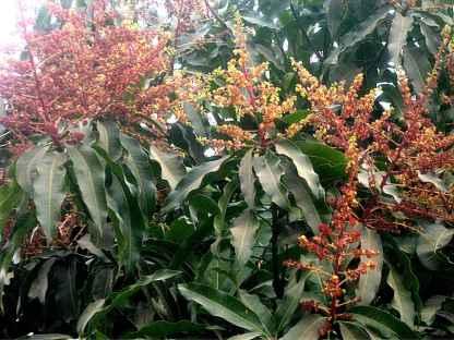 mangoblüten