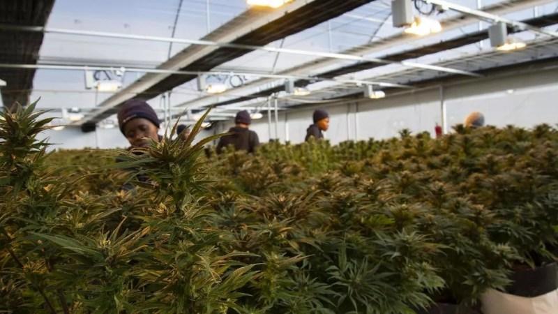 Rwanda Cannabis