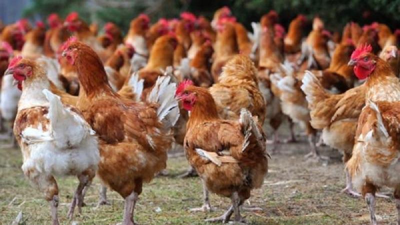 Togo : Les volailles venant de ces 6 pays sont interdites sur le territoire, voici les raisons
