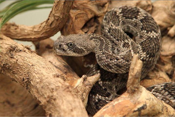 Prehistoric Texan consumed poisonous snake completely and raw