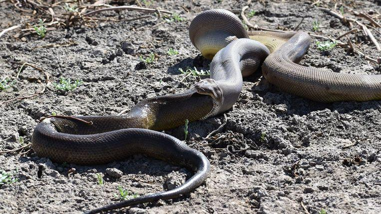 Python swallows larger python, but it appears to be quite heavy