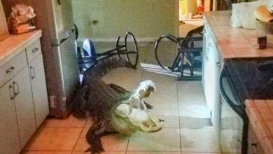 Elderly woman startled at night by giant alligator in kitchen