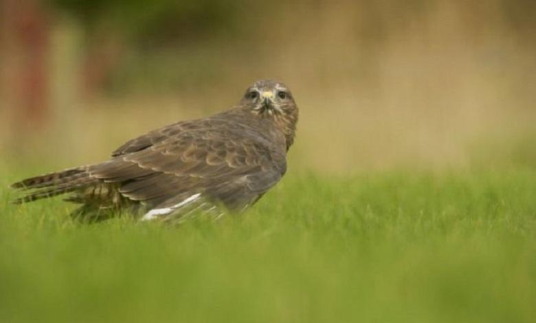 Buzzard attacked his head thrice, even when he changes walk route