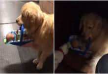Cute: therapy dog ​​steals toys at the police station