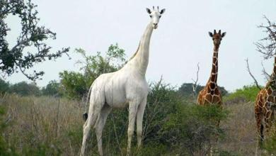 Rare white giraffe and her calf killed in Kenya