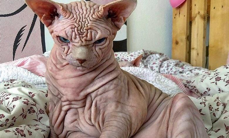 """He doesn't hurt a fly"": Extremely wrinkly and 'cranky' cat"