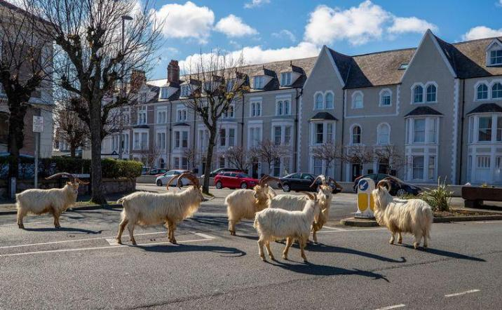 Wild goats take over the streets of Wales.