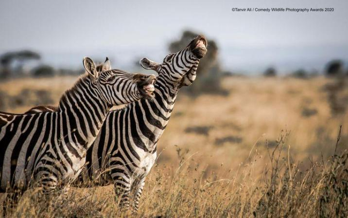 These zebras in Kenya have a limp laugh.