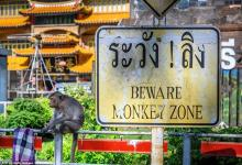 Monkey gang war: Thai city strikes back against real monkeys - videos