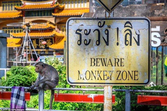 Monkey gang war: Thai city strikes back against real monkeys - videos