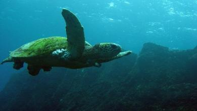 Discover the largest colony of green sea turtles in the world
