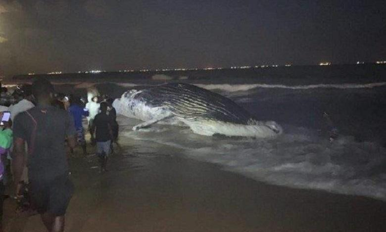 2 dead whales found in a week on the beach of Lome