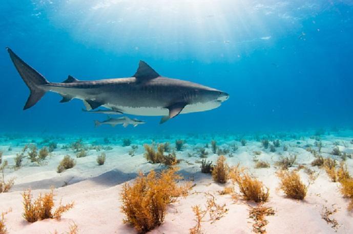Taurus (Tiger shark) Top 5 Strongest animals in the ocean