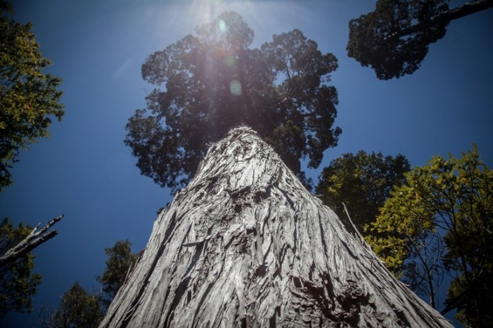 Gran Abuelo: Alerce Costero National Park, Chile