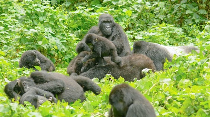 Hike to gorillas in the Bwindi Impenetrable Forest