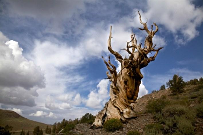 Methuselah: White Mountains, California
