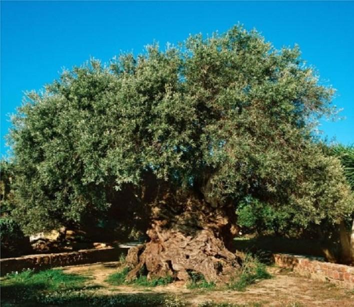 Vouves olive tree: Crete, Greece
