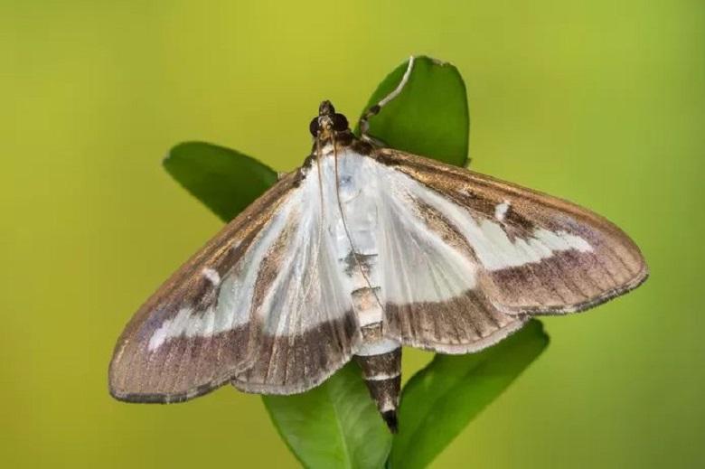 Newly discovered gun moth named after coronavirus