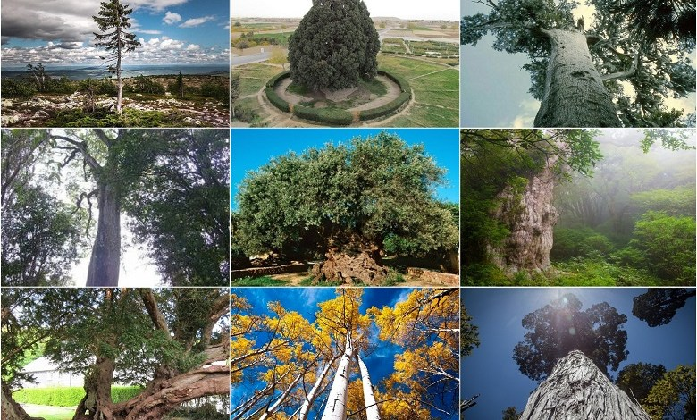 Ten ancient trees on the planet and where to find them