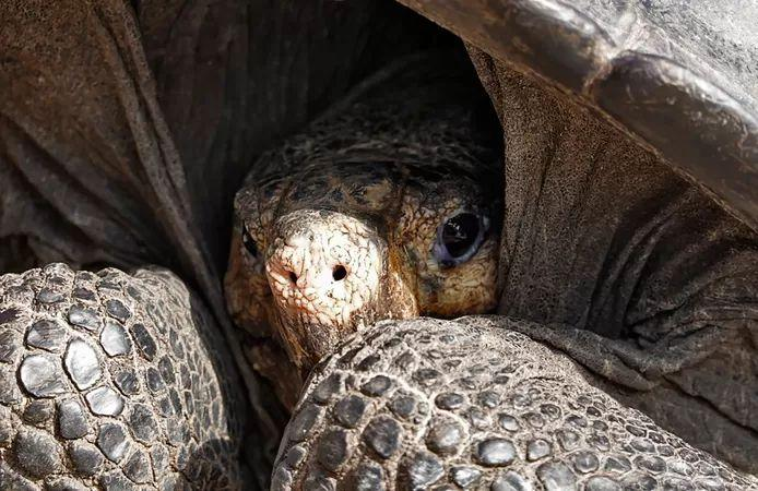 Galapagos tortoise extinct species spotted again