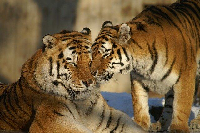 Why the famous tiger monastery in Thailand was closed