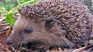 How hedgehogs destroy New Zealand: thorny people's enemies